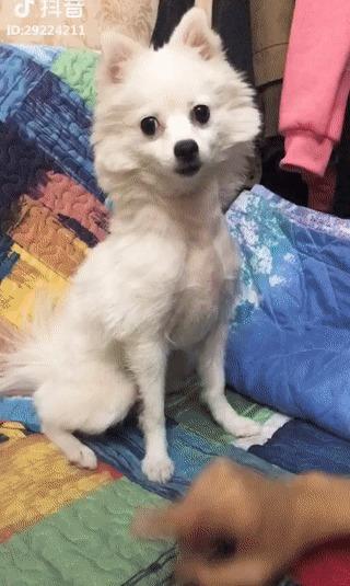 Купил китайскую подделку Собака, Дрессировка, Ожидание и реальность, Рука, Гифка