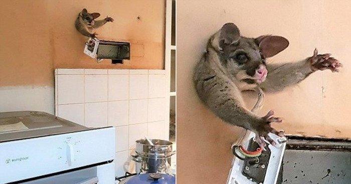 Опоссум застрял в дыре кухонной стены. Австралия, Опоссум, Стена, Животные, Поссум