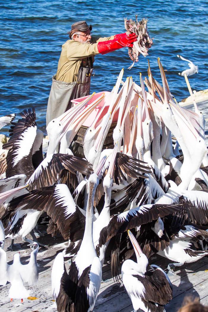 Мнеееее! Птицы, Пеликан, Рыба, Кормление, Австралия