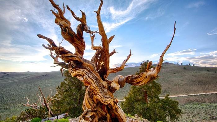 Самое древнее дерево планеты. Дерево, Парк, Старость