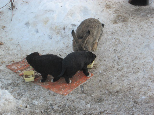 В Омской области кролик спас щенков и заменил им убитую собаку