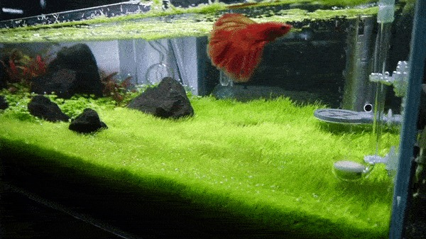 Подстригаем газон в аквариуме