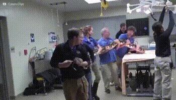 Шестиметровый питон на компьютерной томографии. Питон, Ветеринар, Лечение, Диагностирование, Гифка, Видео, КТ, Компьютерная томография