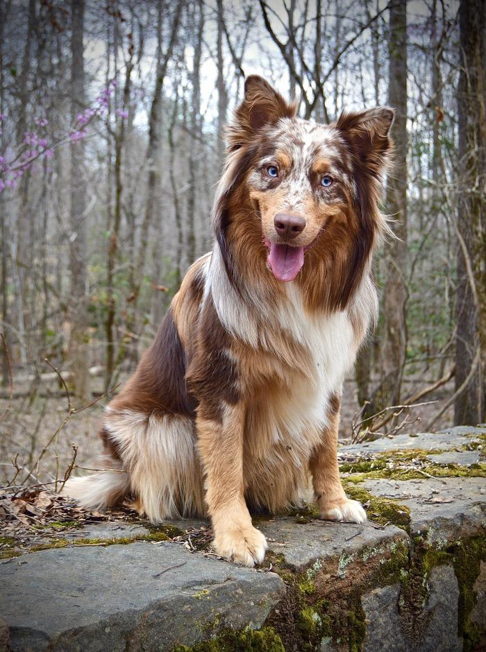 Красивейший пёсель Собака, Австралийская овчарка, Домашние животные