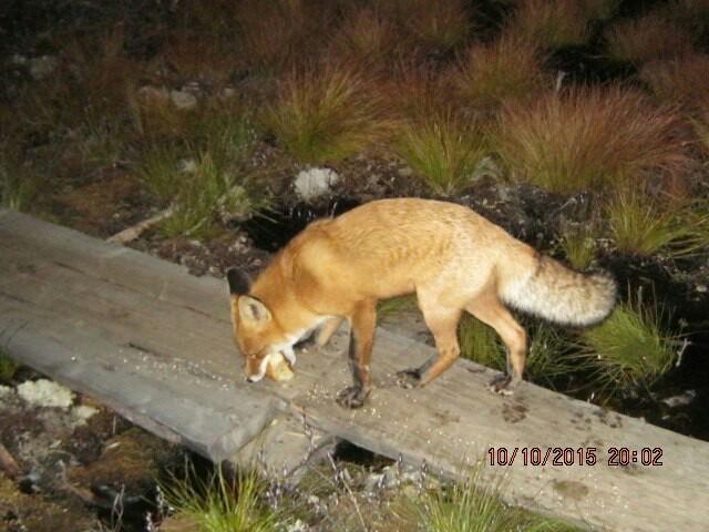Про рыжие морды Лиса, Незванные гости, Дикие животные, Тайга, Лес, Длиннопост