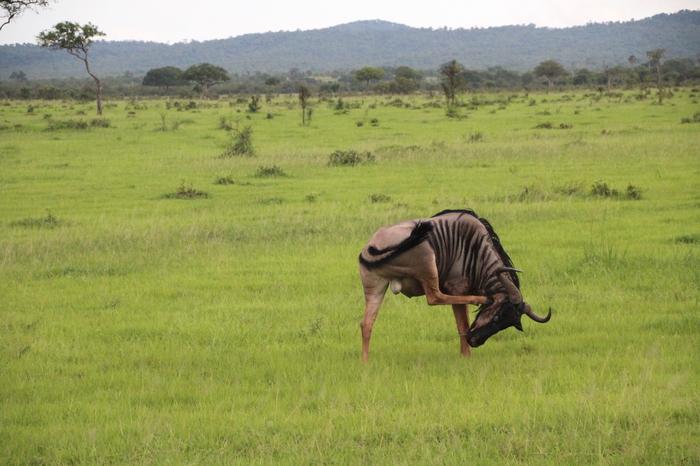 Национальный парк Микуми. Танзания. Танзания, Сафари, Животные, Леопард