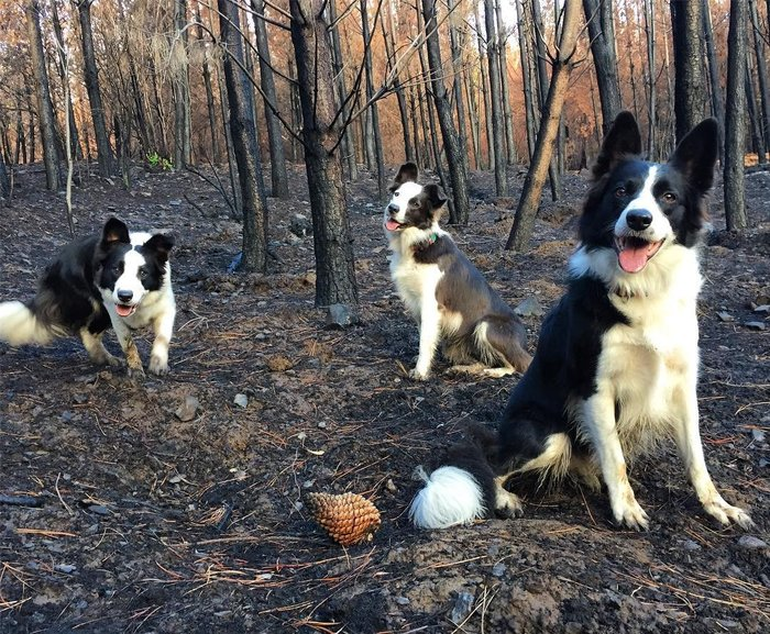 Три собаки со специальными рюкзаками помогают восстанавливать растительность в сгоревших лесах Чили (4 фото)