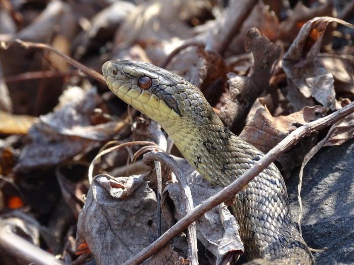 мешкает змея полоз фото в приморье неё самый короткий