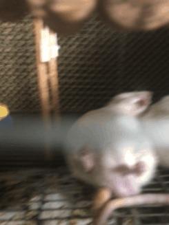 Мои крысы Декоративные крысы, Животные, Гифка, Длиннопост