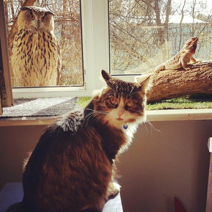 Кот, который в этой жизни видел многое Кот, Кот Мурлок, Сова, Филин, Животные, Yoll, Домашние животные, Упоротость, Длиннопост