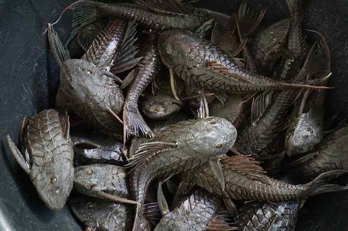 Кольчужные сомы Рыба, сом, наука, биология, интересное, длиннопост