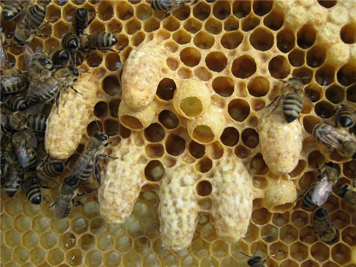 Организация пчелиного улья. Население и ресурсы. Пчелы, Насекомые, Длиннопост, Фотография