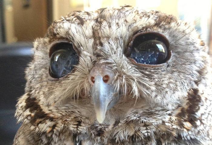 Внутренняя часть глаз этой слепой совы выглядит как звезды