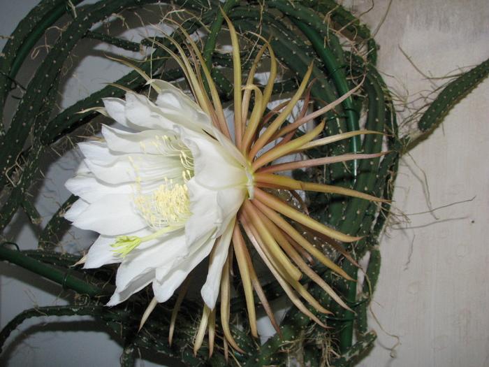 Этой ночью расцвёл Selenicereus grandiflorus Кактус, Цветение, Селеницереус, Царица ночи