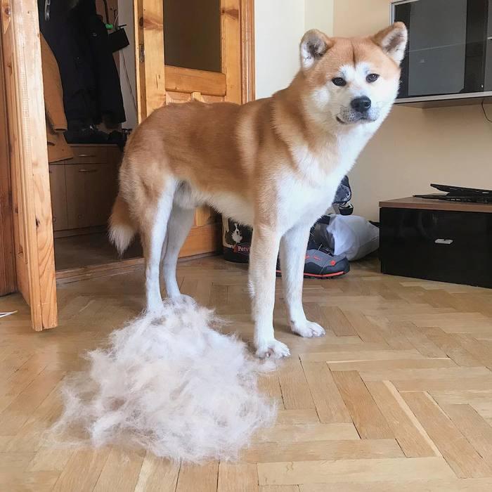 Линька у собак Собака, Акита ину, Японская акита, Хатико, Милота, Милашка, Шерсть, Линька
