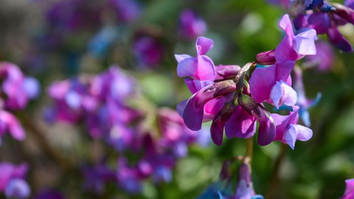 Весеннее цветение. Критика приветствуется! Фотография, Тюльпаны, Слива, Цветы, Цветение, Nikon d5200, 18-55kit, Длиннопост