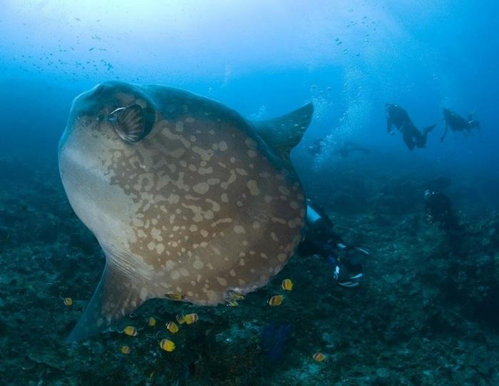 Луна-рыба: почему ещё жива? Рыба-Луна, Морские обитатели, Длиннопост