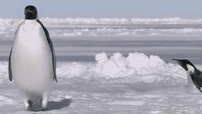 """""""А мы пингвинчики, а нам не холодно, Пингвины, Южный полюс, Природа, Гифка, Длиннопост"""