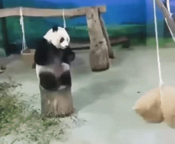 Тренировка панды )