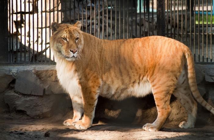 Лигр - самая большая кошка в мире. Лигр, Гибрид, Кот, Длиннопост