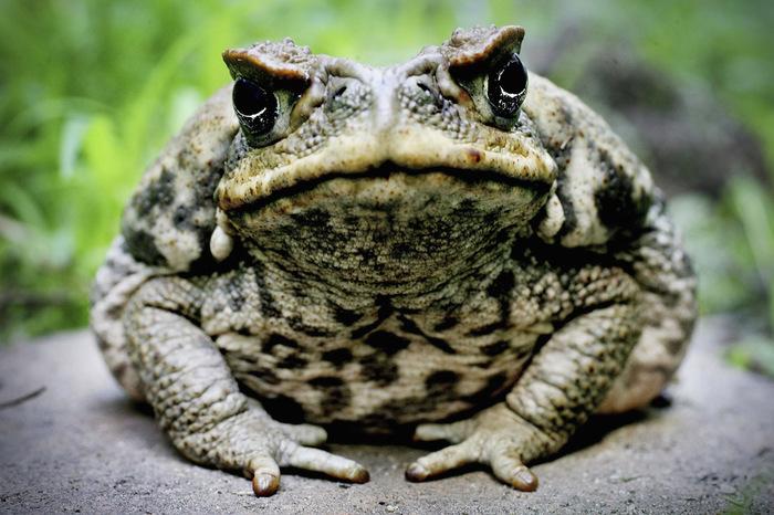 Экологические террористы Борщевик, Жаба, Кролики, Кудзу, Змееголов, белка, Толстолобик, экология, длиннопост