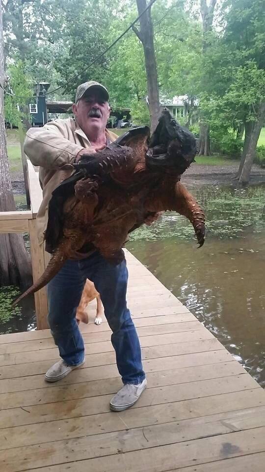 Гигансткая грифовая черепаха.