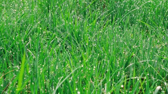 Утро на траве Роса, Трава, Май, Утро