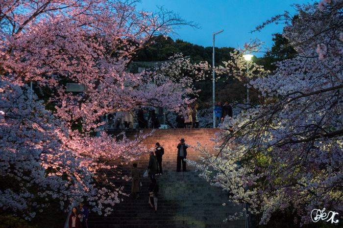 Где посмотреть сакуру в Фукуоке. Nishi Park Япония, Фукуока, Сакура, Ханами, Путеводитель, Путешествия, Фотография, Длиннопост