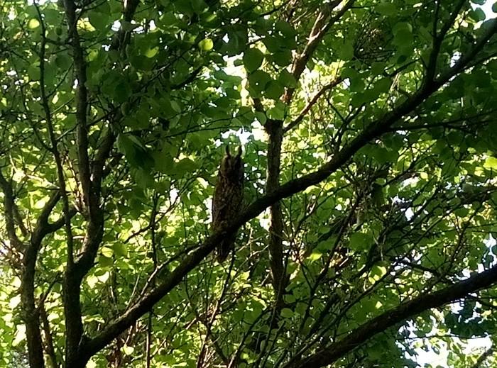 Соседи Птицы, Сова или филин, Длиннопост, Сова, Совиные, Фотография