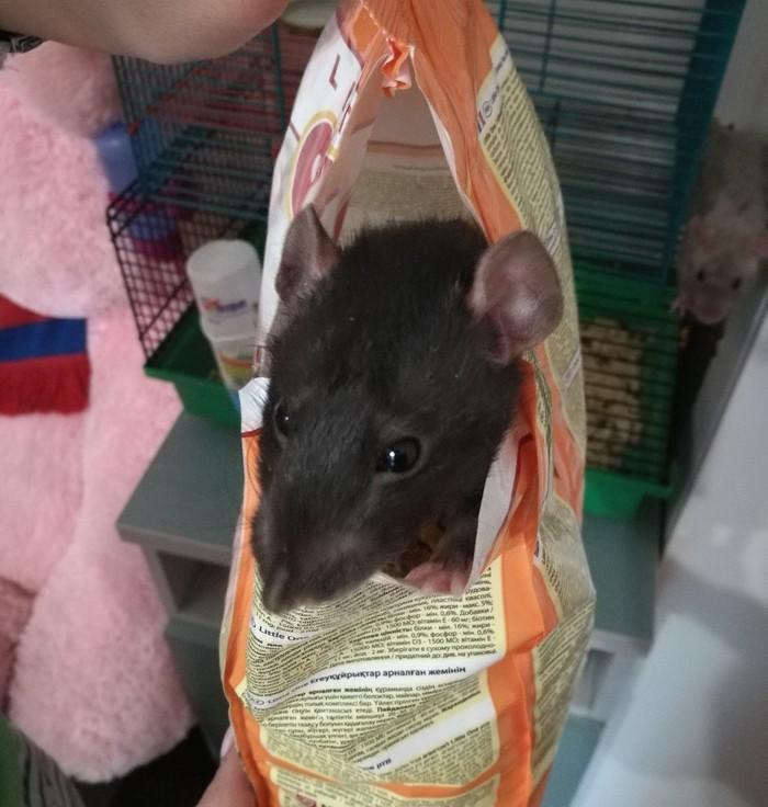 Штирлиц ещё никогда не был так близок к провалу ... Декоративные крысы, Домашние животные, Наглая морда, Длиннопост, Крыса