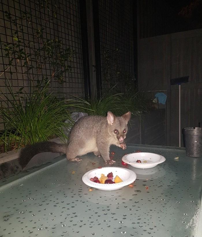 Новый друг Австралия, Поссум, Австралия животные, Мельбурн