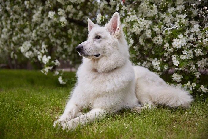 Солнечные деньки или белый конь в яблоках. БШО, Собака, Фотография, Лето, Белая швейцарская овчарка, Яблоня, Длиннопост