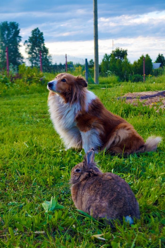 Кролик и собака в деревне Животные, Кролики, Кролик, Собака, Шелти, Река, Природа, Деревня, Длиннопост