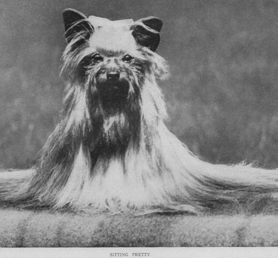 О породах собак. Йоркширский терьер. Собака, Породы собак, Йоркширский терьер, Видео, Длиннопост, Декоративные собаки, Фотография