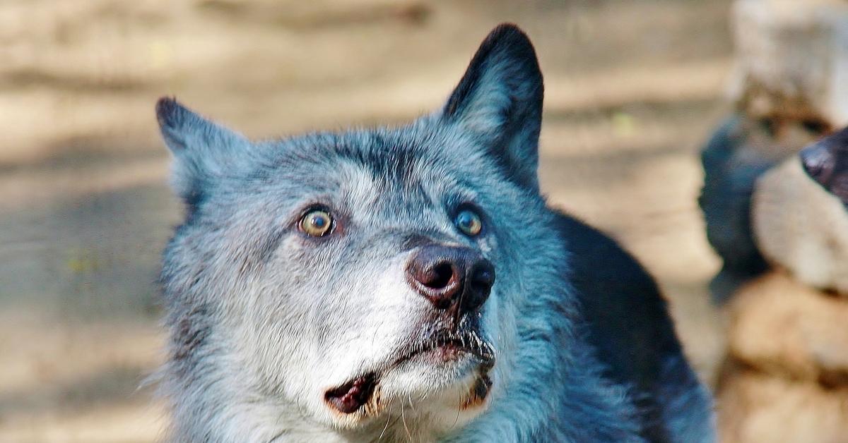 Картинка прикольного волка
