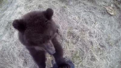 От медведя можно отбиться, защекотав его до смерти
