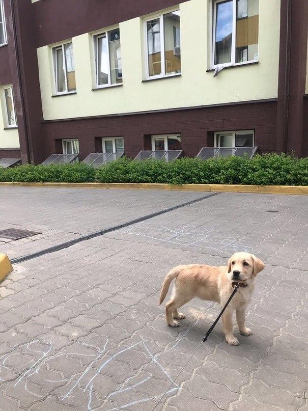 Пожалуйста помогите! Щенок ищет дом или его отдадут в приют( Москва [Собаку забрали] Собака, найдена собака, Москва, лабрадор, щенок бесплатно, помощь животным, длиннопост, без рейтинга