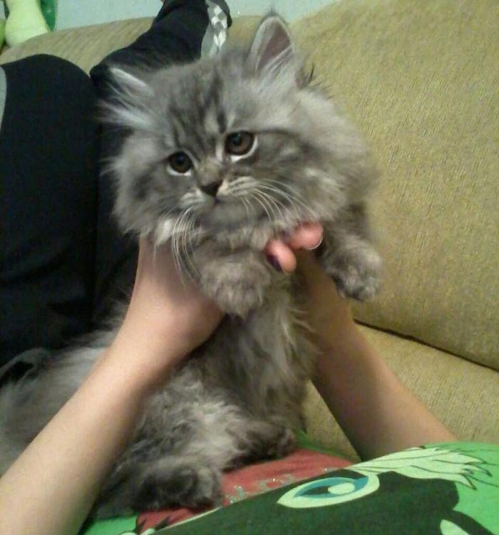 Наш котофанчик в детстве и сейчас Кот, Мех, Пушистый, Домашние животные, Персидский кот, До и после, Длиннопост