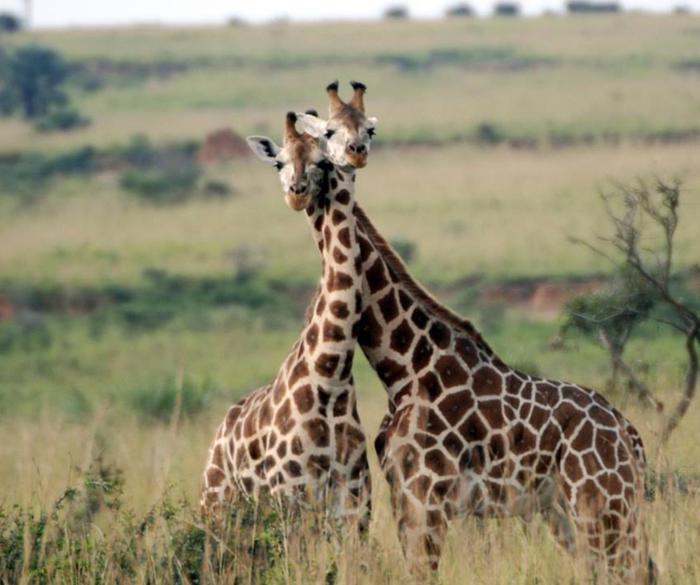 Жирафы Сафари, Жираф, Животные