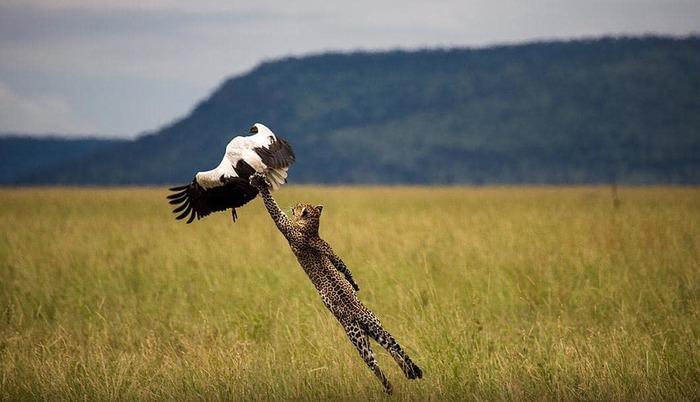 Дай пятюню Фотография, Животные, Леопард, Дай пять, Приятного аппетита