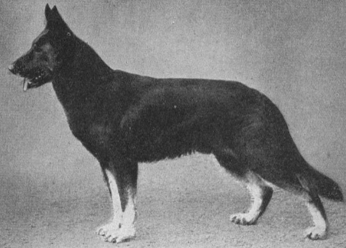 О породах собак. Немецкая овчарка. Собака, Породы собак, Немецкая овчарка, Видео, Длиннопост