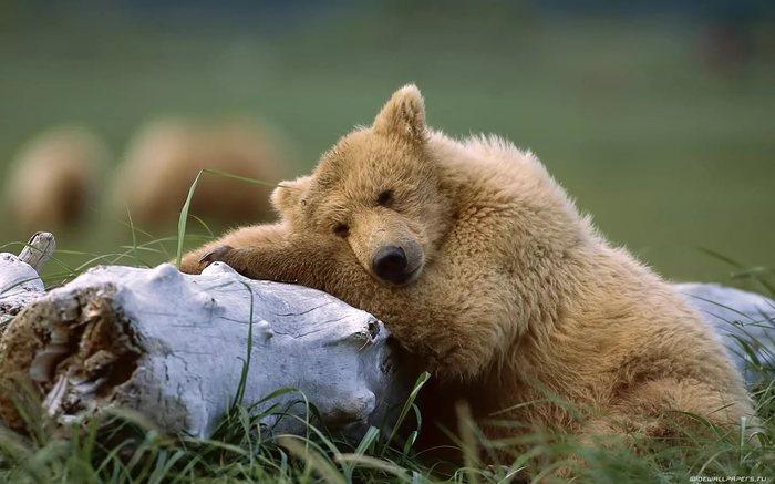 О чем грезят медведи? Медведь, Животные, Фотография, Грезы, Задумчивость, Морда, Длиннопост