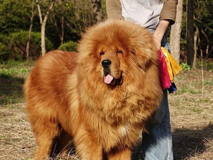 Тибетский мастиф. Происхождение породы. Породы собак, Ничего необычного, Длиннопост