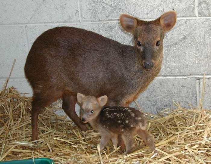 Самый маленький вид оленей в мире – пуду. Олень, Пуду, Фотография, Олененок, Милота