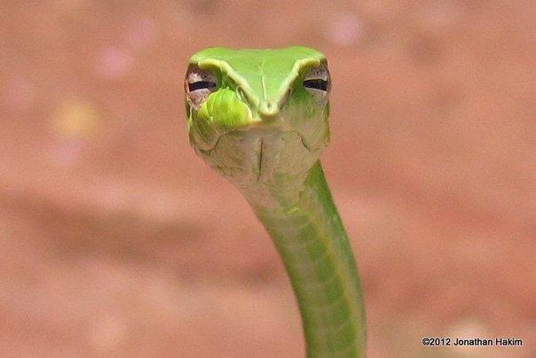 МЧС предупреждает о 4-метровых змеях? Змея, Мчс, Фейк