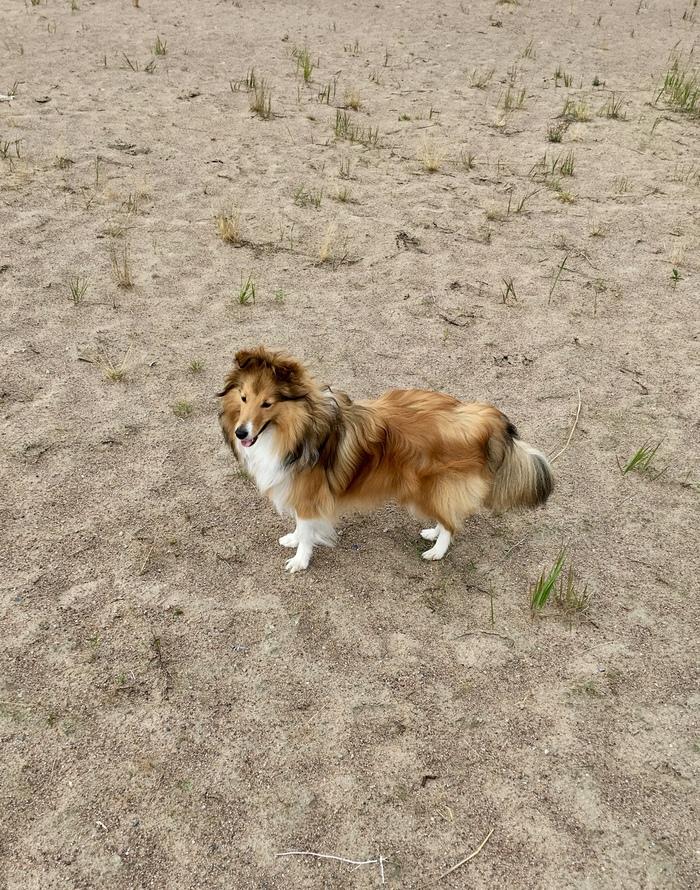 Про шелти-подростка Собака, Шелти, Джуффин, Длиннопост, Фотография, Видео