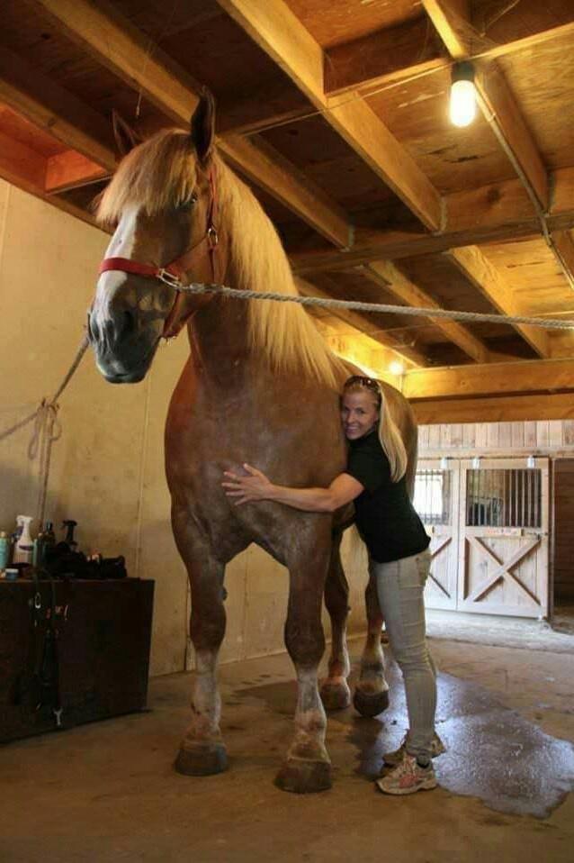 Big Jake - самая высокая лошадь в мире из ныне живущих, внесена в книгу рекордов Гиннесса Лошади, Большая лошадь, Интересное, Животные, Книга рекордов Гиннесса, Длиннопост