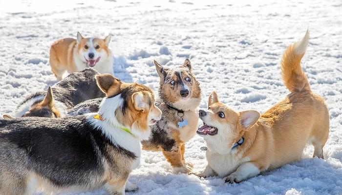 Когда ну очень любишь травить анекдоты Корги, Мурманск, Вельшкоргипемброк, Собака