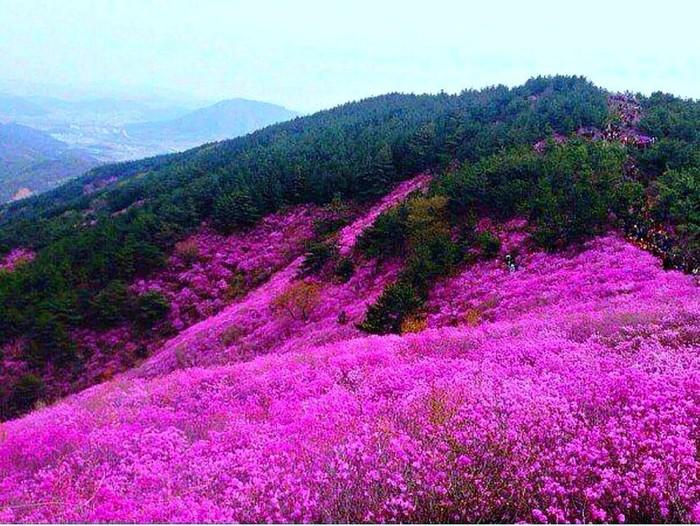 В Забайкалье цветёт багульник