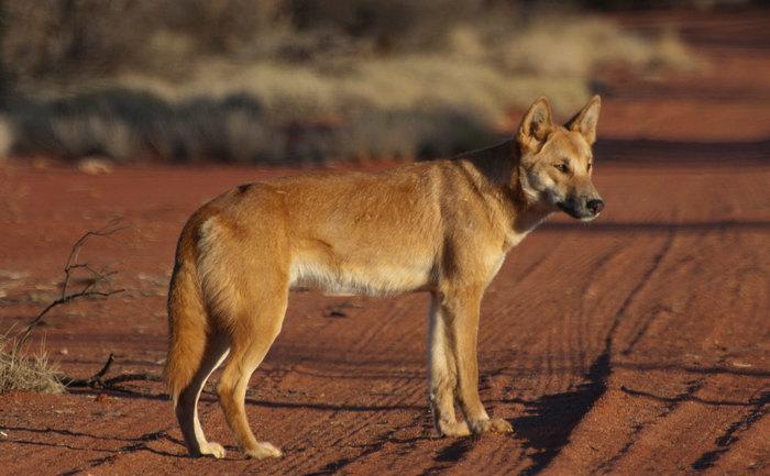 Почему так много различных пород собак. Собака, порода, Интересное, генетика, длиннопост